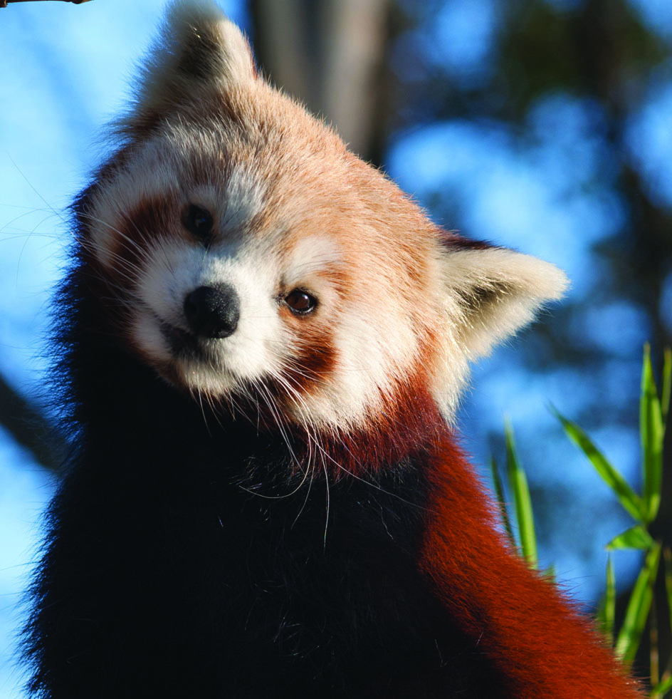 Image of red panda